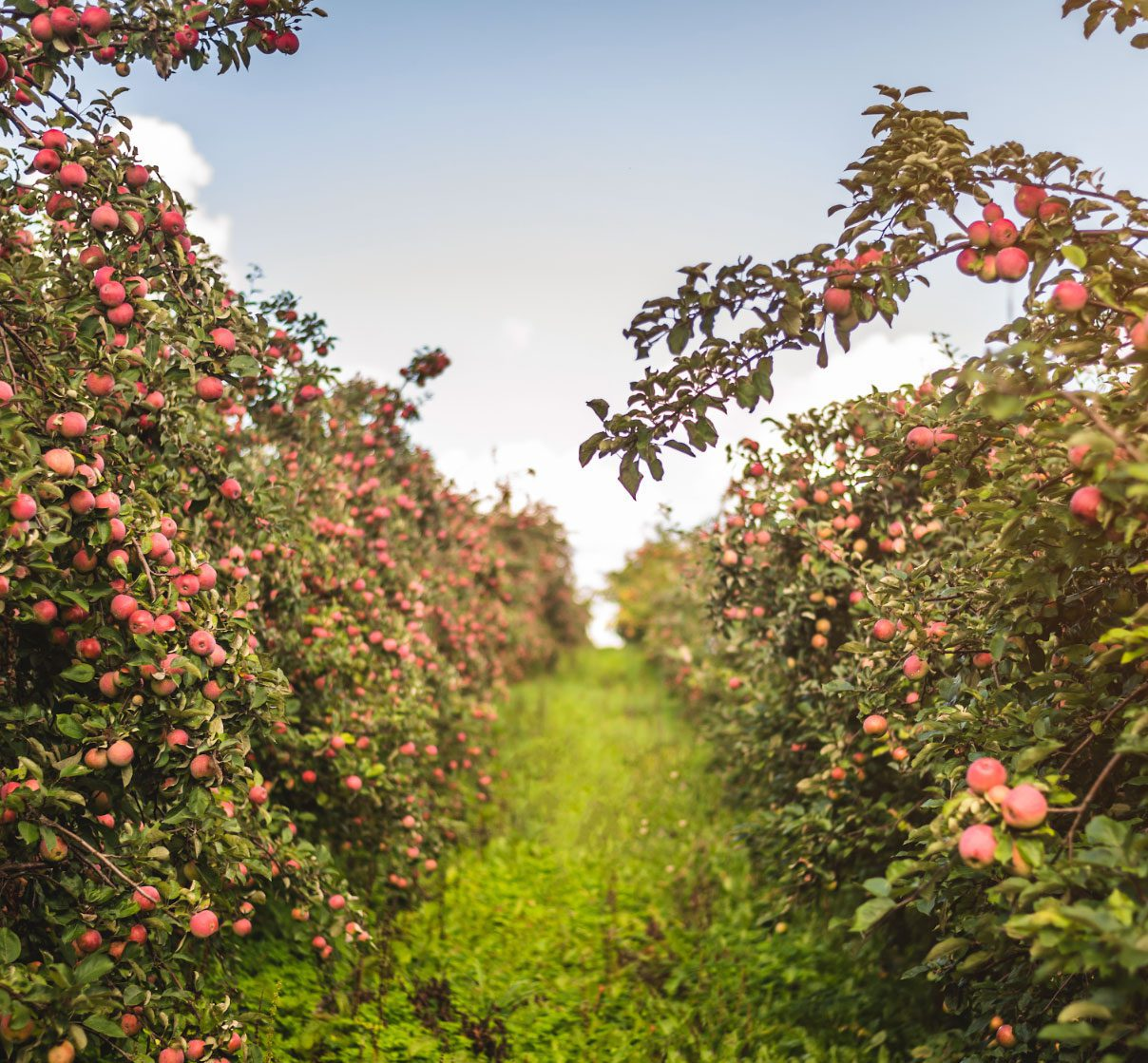 Apple orchard in southern Estonia